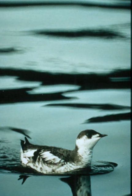 Marbled Murrelet Picture