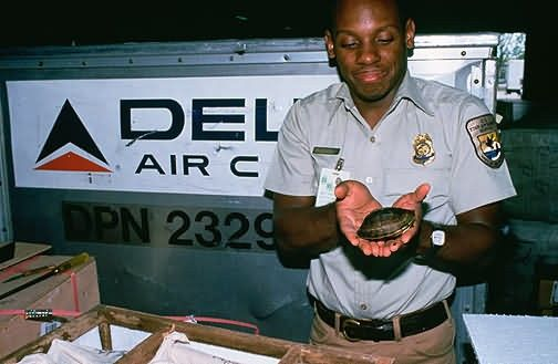 Miami Int'l Airport Inspection of Imported Asian Box Turtle Picture