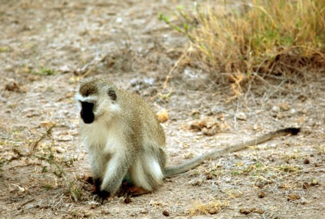 Vervet Monkey (Green) Picture