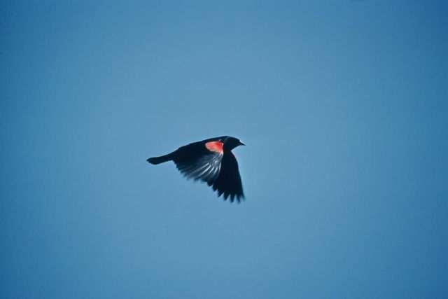 Red-wing Blackbird Picture