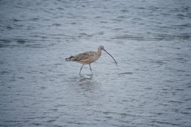 Long-billed Curlew Picture