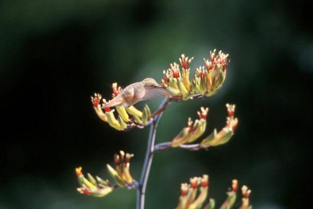 Allen's Hummingbird Picture