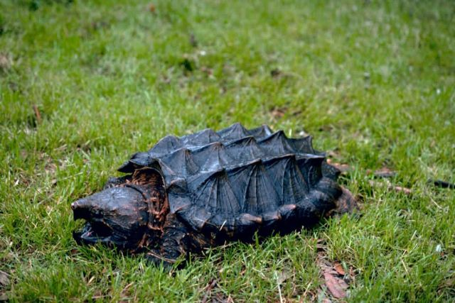 Alligator Snapping Turtle Picture