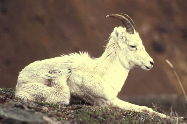 Dall Sheep/ Lamb Picture