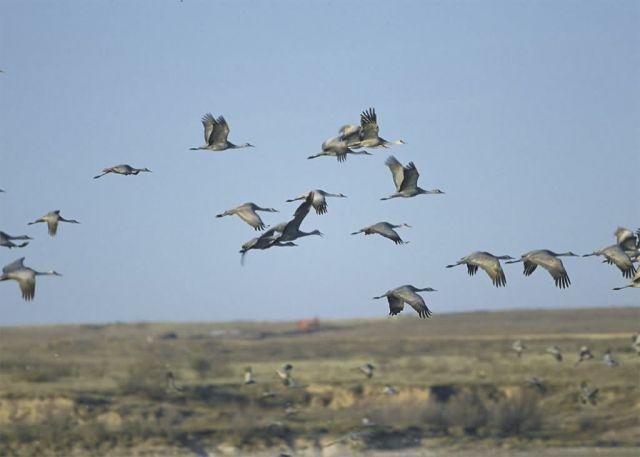 Sandhill Cranes Picture