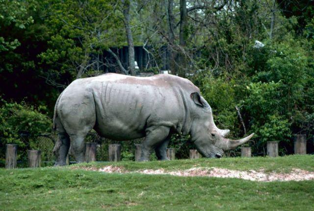 White Rhino Picture