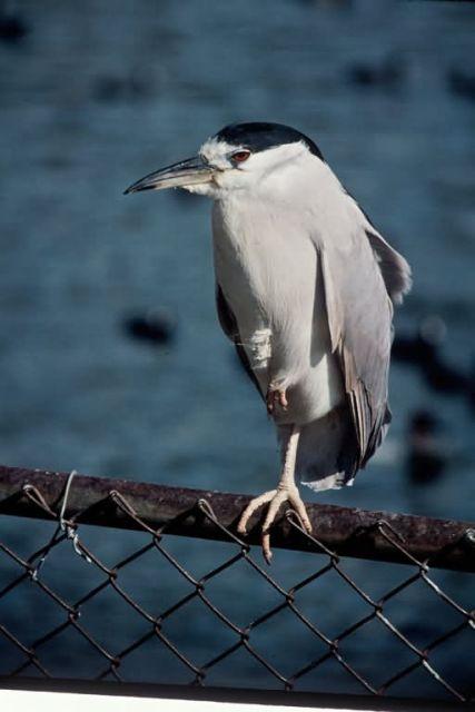 Black Crowned Night Heron Picture