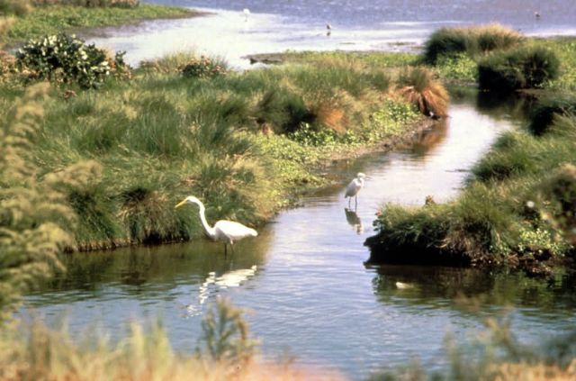 Common Egret Picture