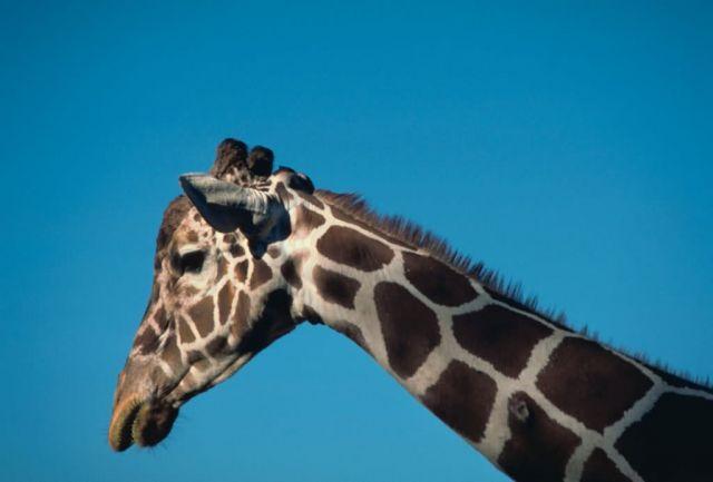 Reticulated giraffe Picture