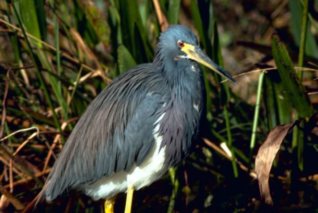 Tricolor Heron Picture