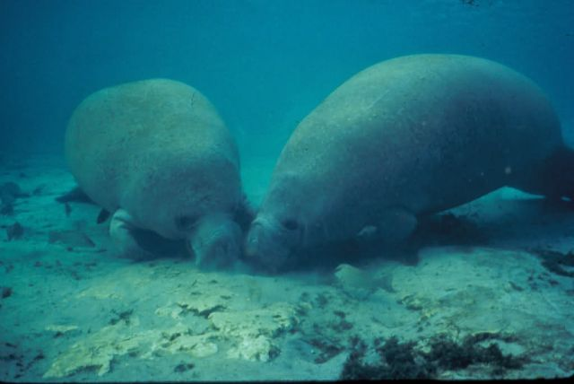 Manatee Rooting in Sand Picture