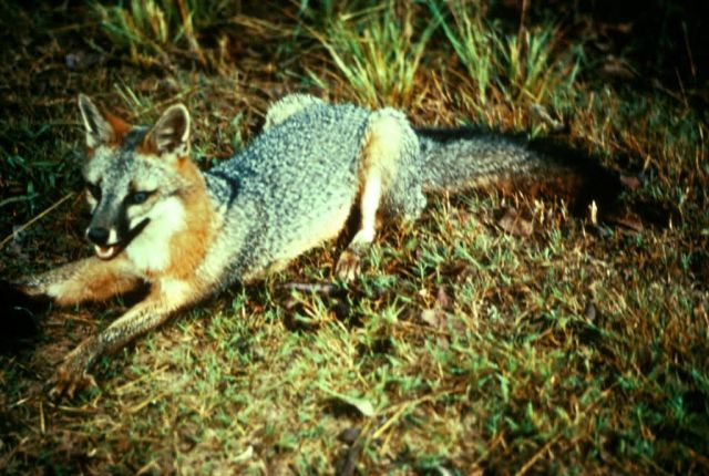 Gray Fox Picture