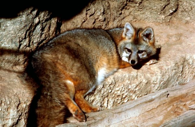 Gray Fox, New Mexico Picture