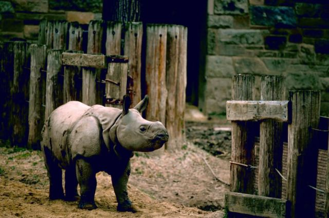 Indian Rhino Picture