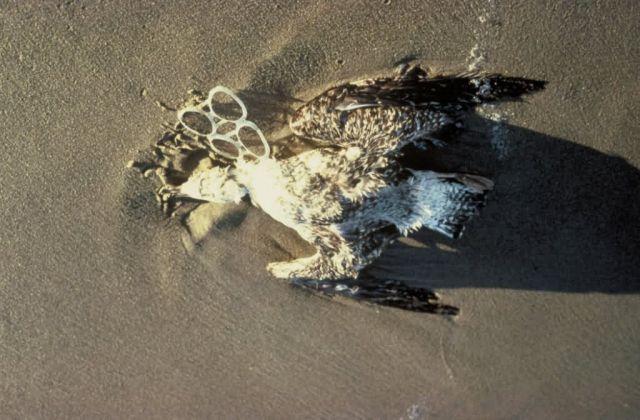 Gull Death Due to Plastic Debris Entanglement Picture