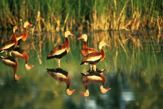 Whistling Duck Picture