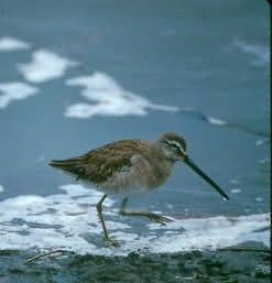 Long Billed Dowitcher Picture