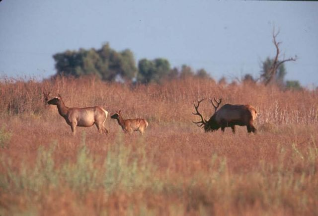 Tule Elk bull , cow and calf Picture