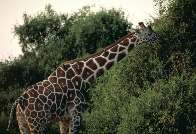 Reticulated giraffe Picture
