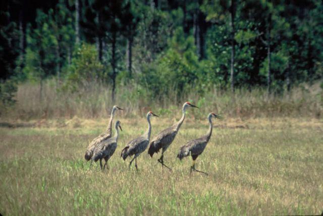 Mississippi Sandhill Cranes Picture