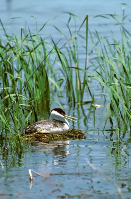 Western Grebe on Nest Picture