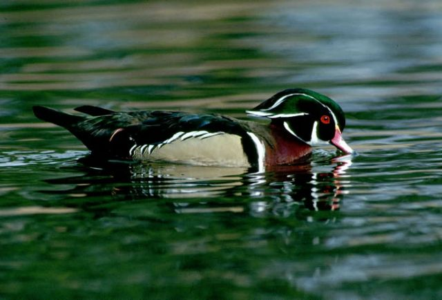 Wood Duck (Drake) Picture
