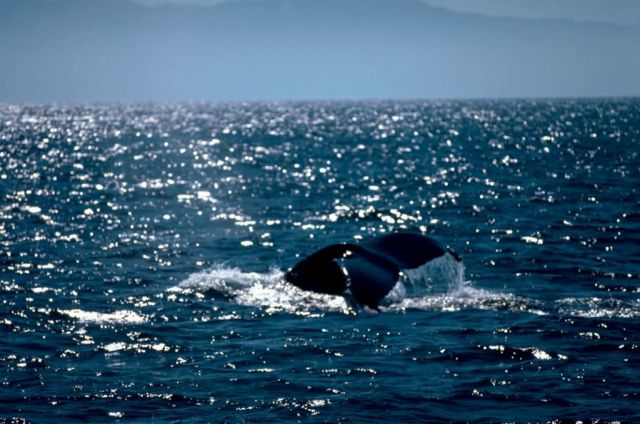 Humpback Whale Mexico Picture