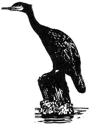 cormorant 3 Picture