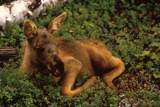 Moose Calf Picture