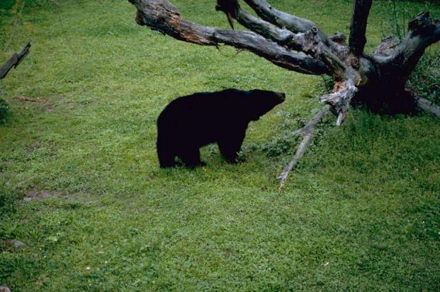 Louisiana Black Bear Picture
