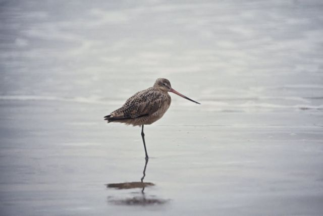 Marbled Godwit Picture