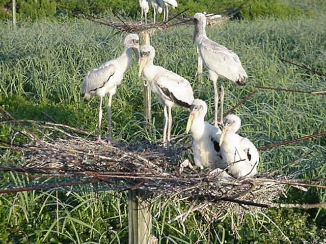 Wood storks on nest Picture