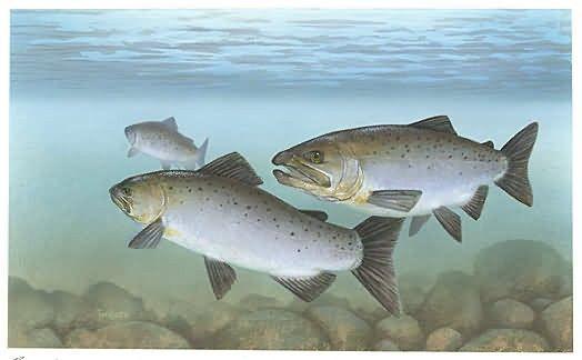 Pacific Salmon Picture