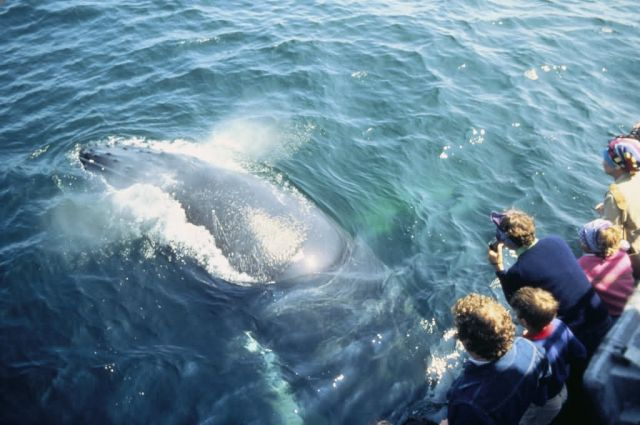 WO 3334 Whale Watching (Humpback) Picture