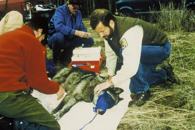 Gray Wolf Health Examination Picture
