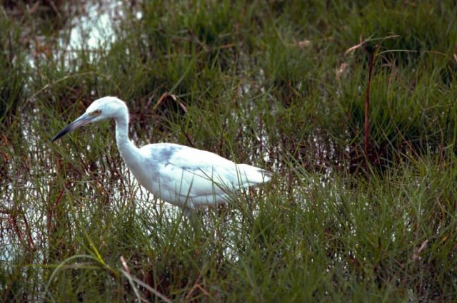 Little Blue Heron Picture