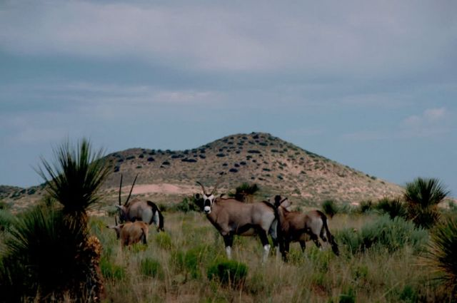South African Oryx (Gemsbok) Picture