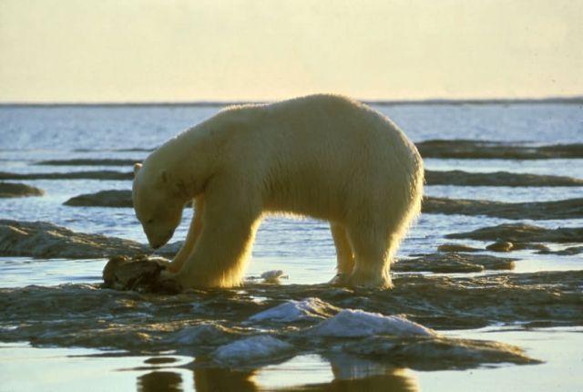 Polar Bear Picture