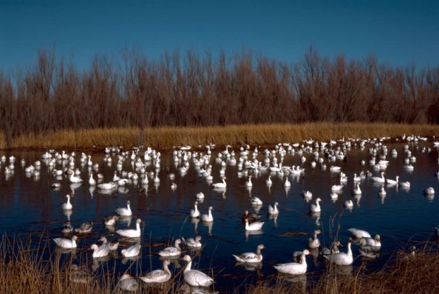 Snow Geese Bosque Del Apache NWR Picture