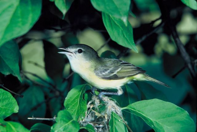 Bell's Vireo Picture