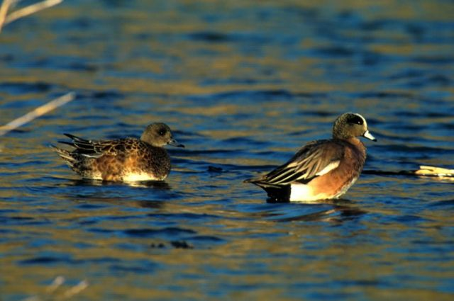 American wigeon -pair Picture