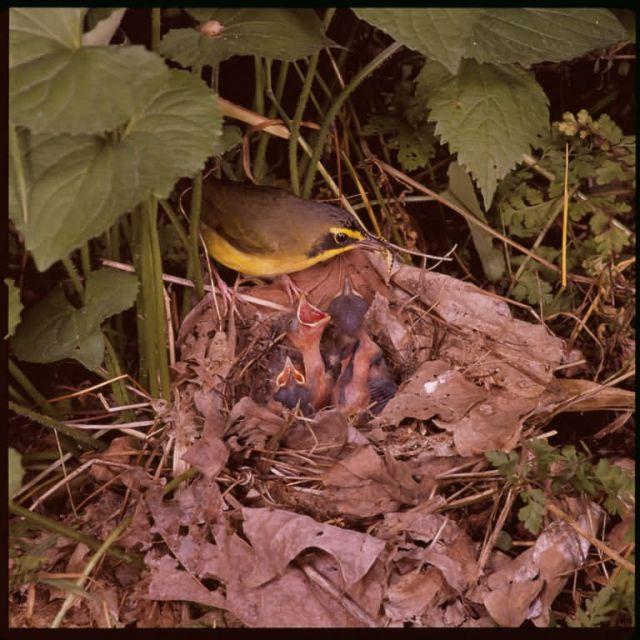 Kentucky warbler Picture