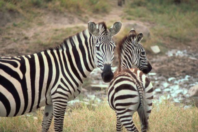 Grant's Zebra Picture