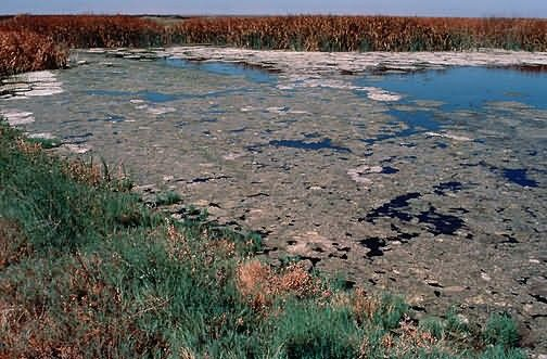 Algae Accumulation, Kesterson National Wildlife Refuge Picture