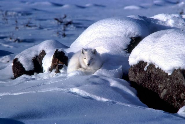 Arctic Fox Picture
