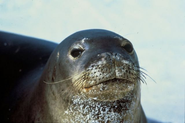 Hawaiian Monk Seal Picture
