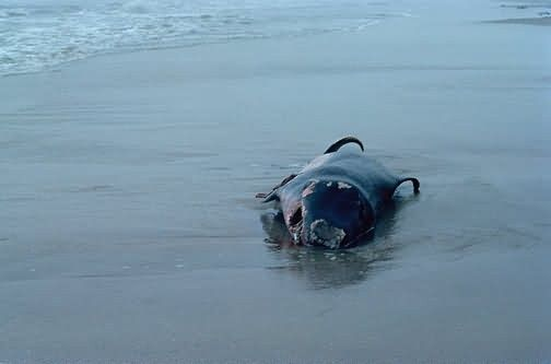 Pigmy Sperm Whale, Beached Picture