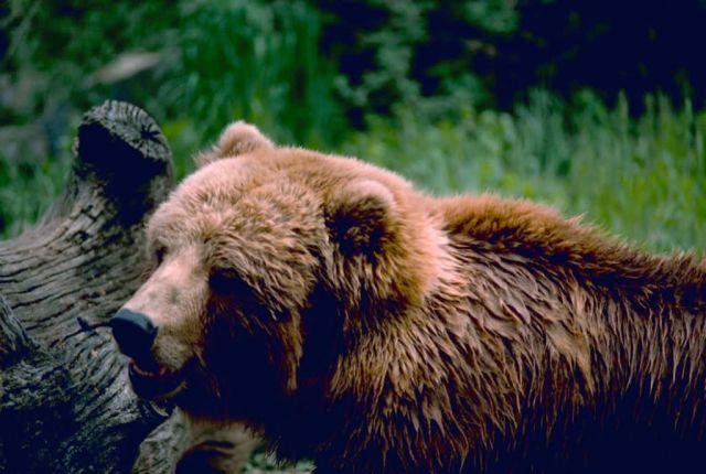 Kodiak Brown Bear Picture
