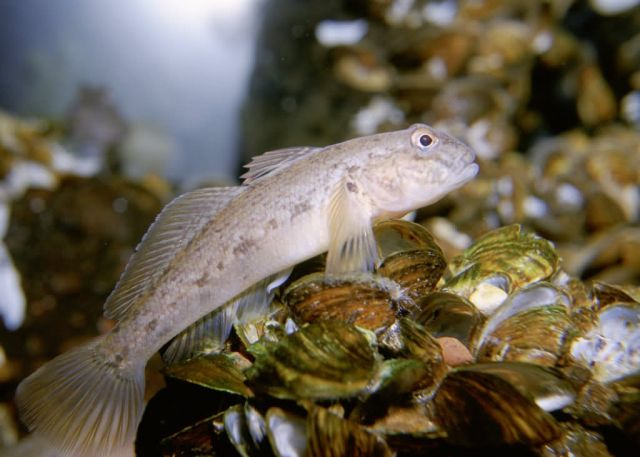 Round Goby Picture