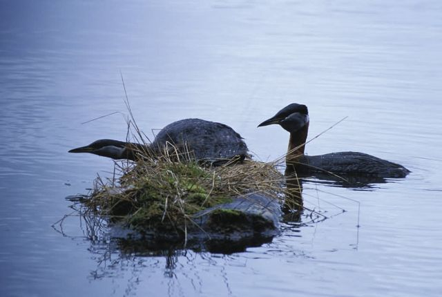 Red-necked Grebes Picture